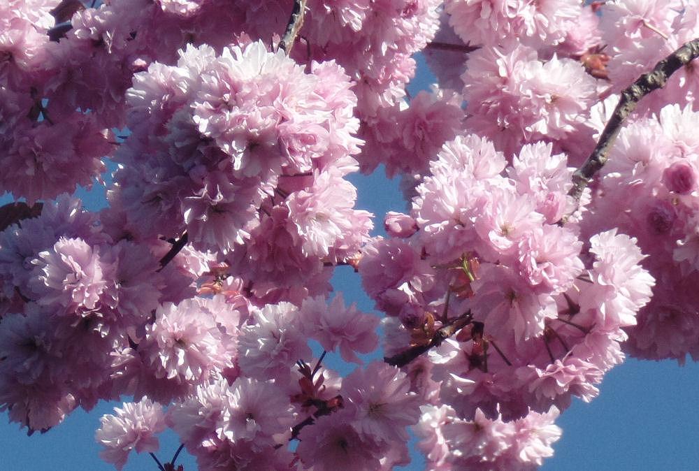 Cherry blossoms, Hillsboro garden