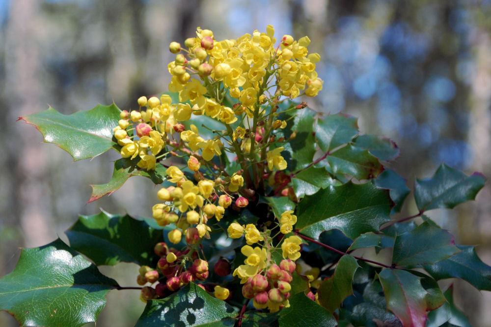 Oregon Grape flowers, Tualatin Hills Nature Park, Beaverton, OR