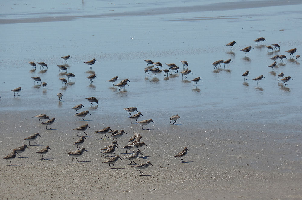 Sandpipers, Cannon Beach, OR