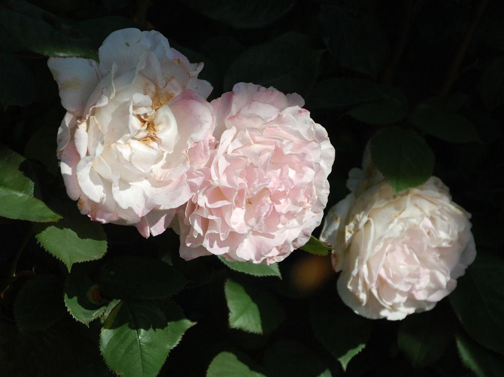Old stock scented roses, Hillsboro OR garden