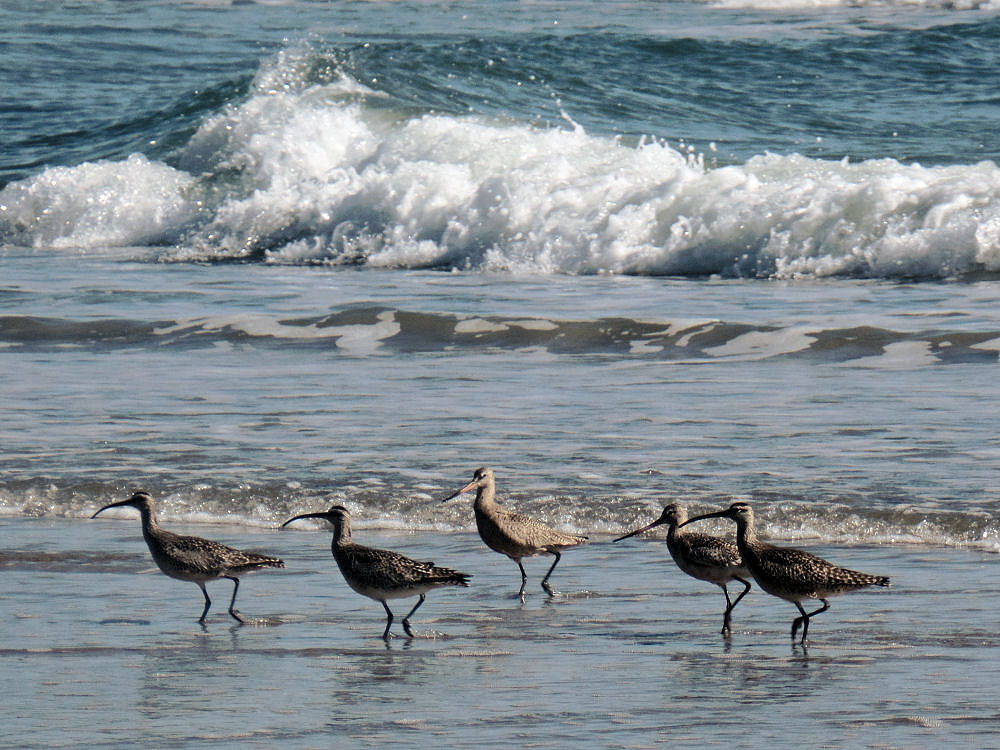 Long-billed Dowitchers, Oceanside beach, OR