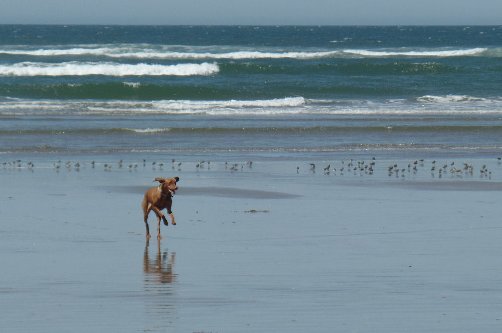 Happy dog at Cannon Beach, OR