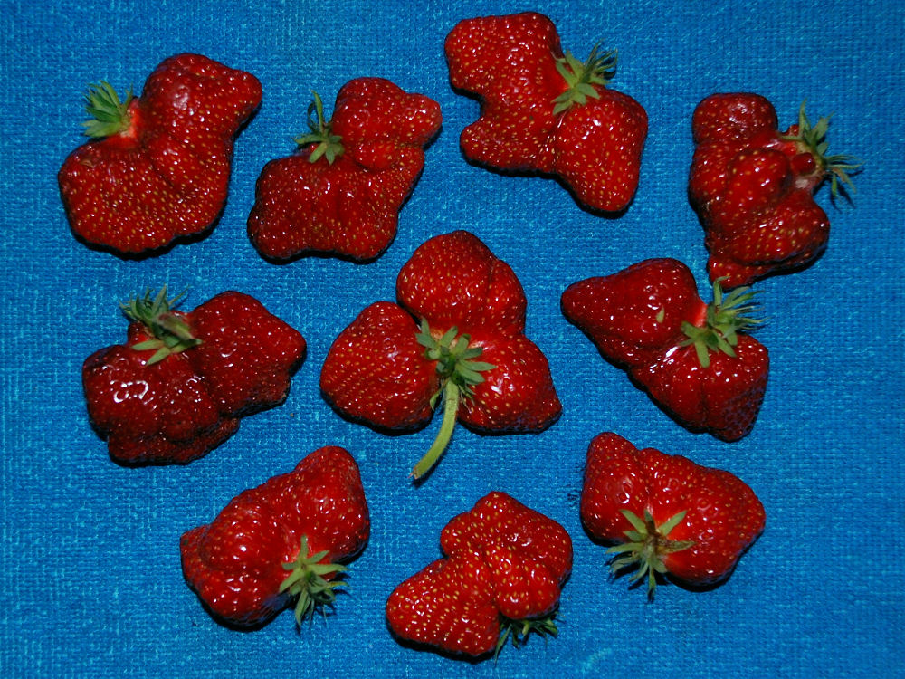 Shukson Strawberries from Dave Heikes Farm, Hillsboro OR