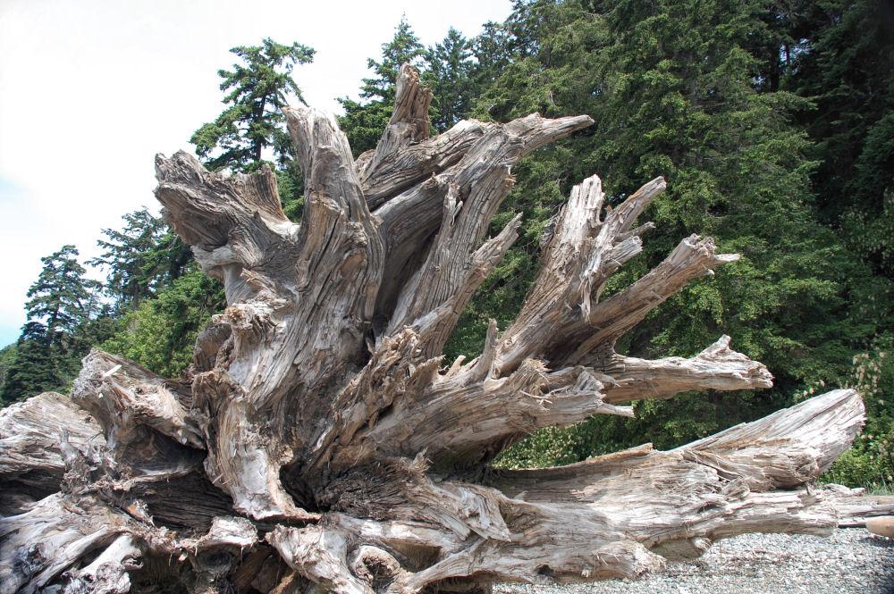 Giant cedar stump driftwood, Fred Gingell Park, Tsawwassen, BC