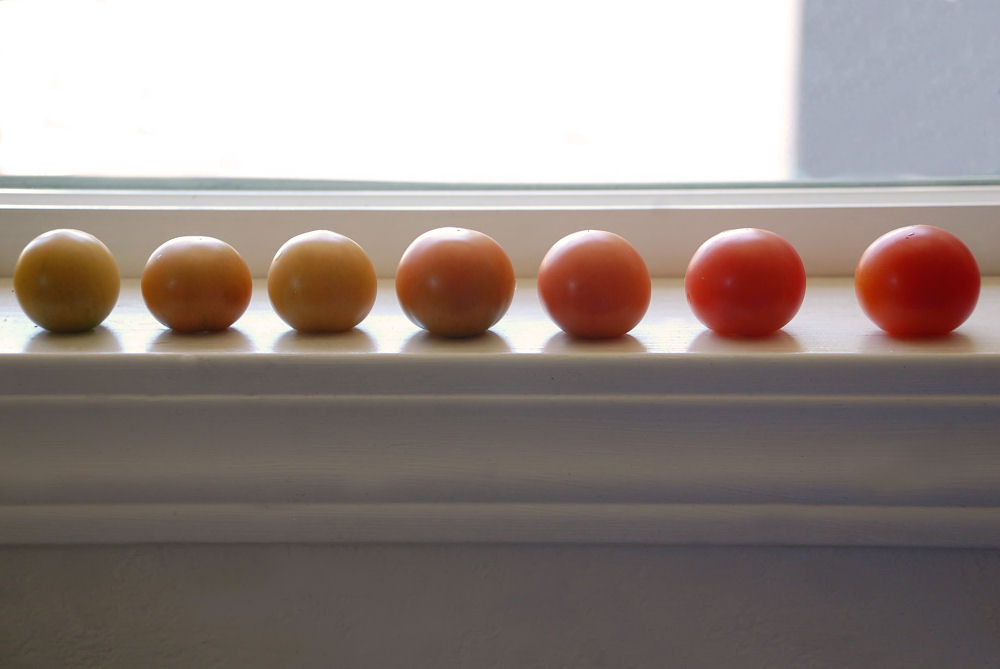 7 little tomatoes ripening on the kitchen windowsill