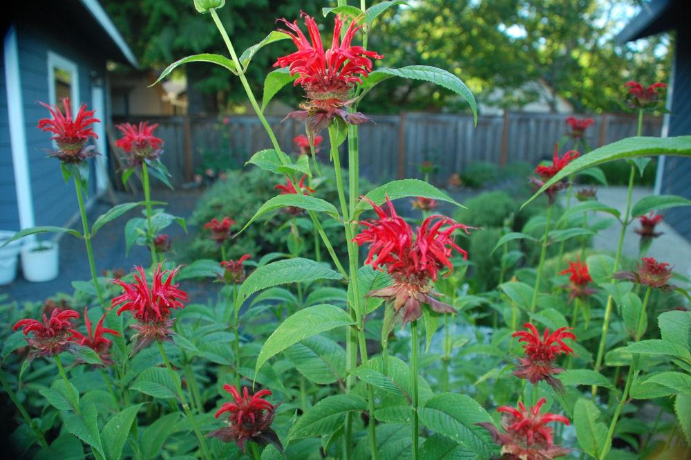 My favorite funky flowers, Monarda