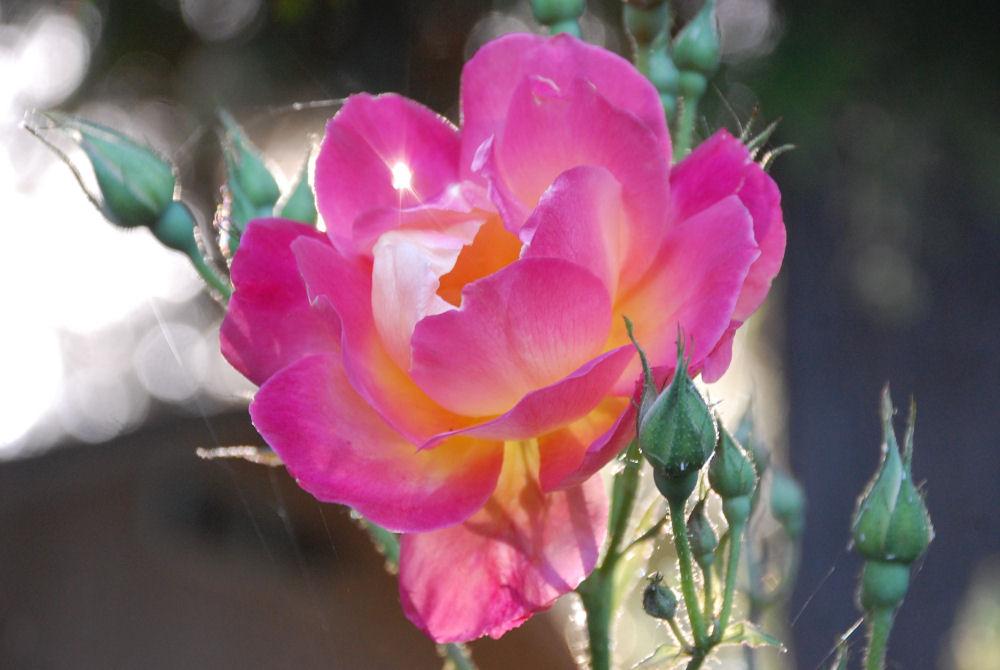 Roses and sunshine, Hillsboro Oregon garden