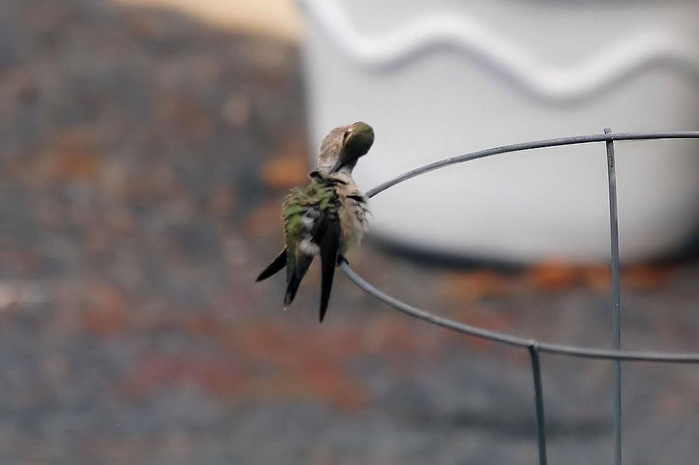 Hummingbird preening, Hillsboro OR