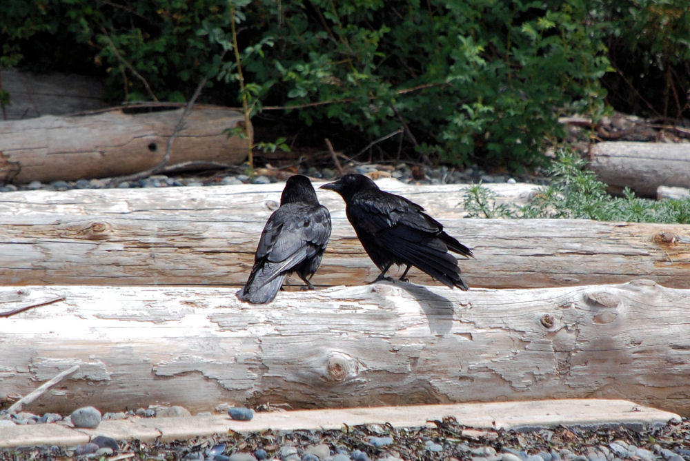 Ravens, Fred Gingell Park, Tsawwassen, BC