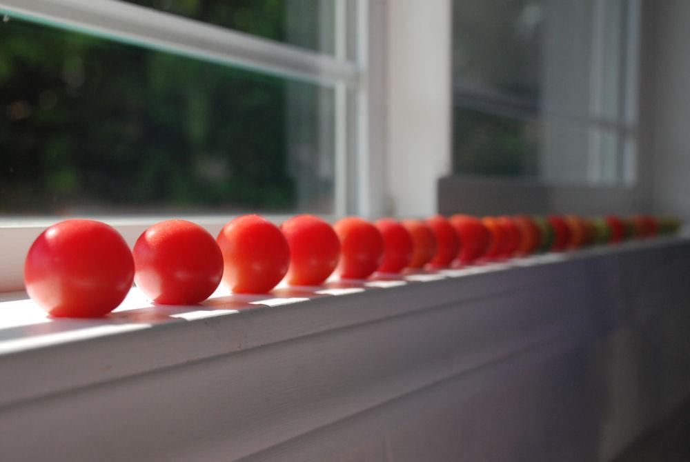 Tomatoes ripening on the kitchen windowsill