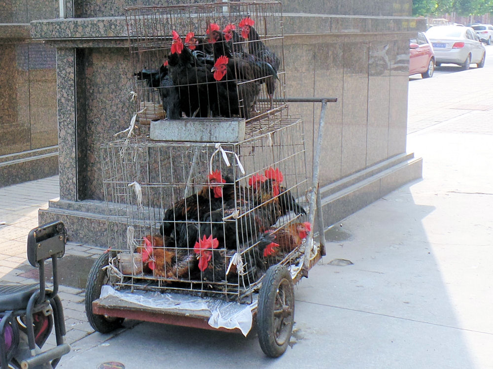 Bicycle cart with caged chickens, no doubt bound for a side street BBQ, Zibo, China