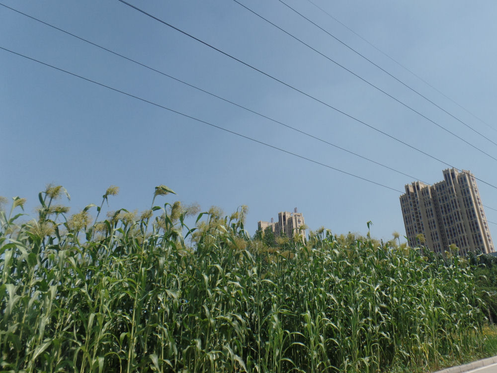 Corn grows everywhere in ditches and wherever there is space for planting, Zibo, China