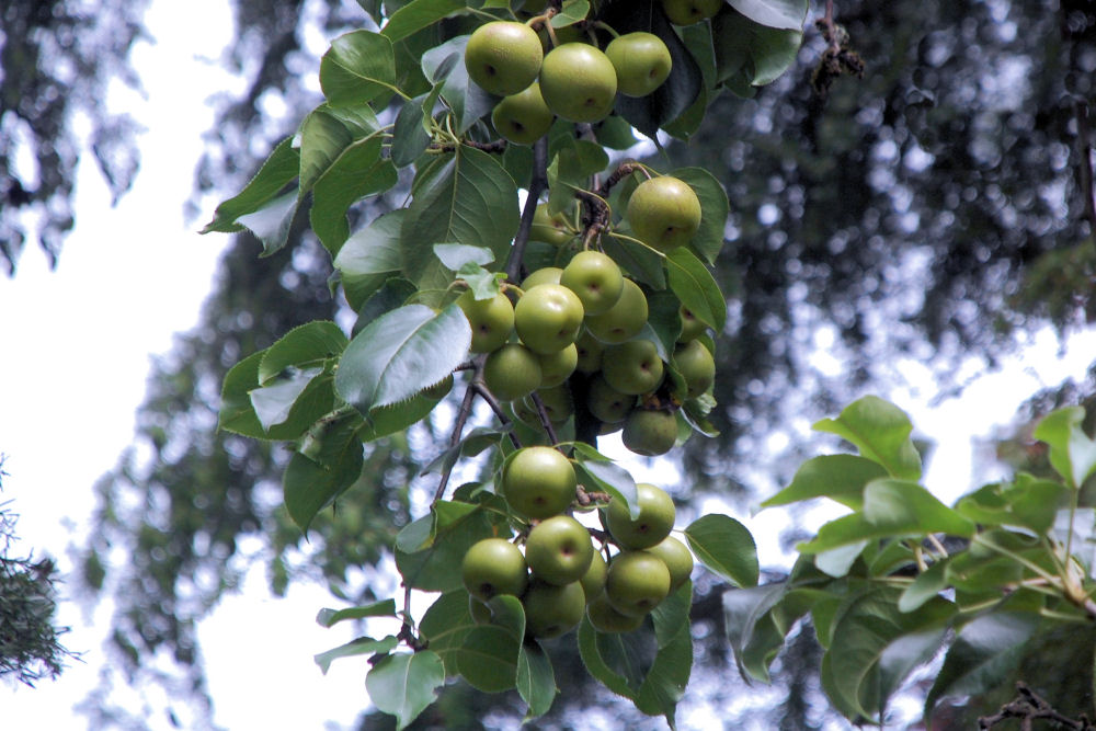 Chinese apples, Hillsboro OR