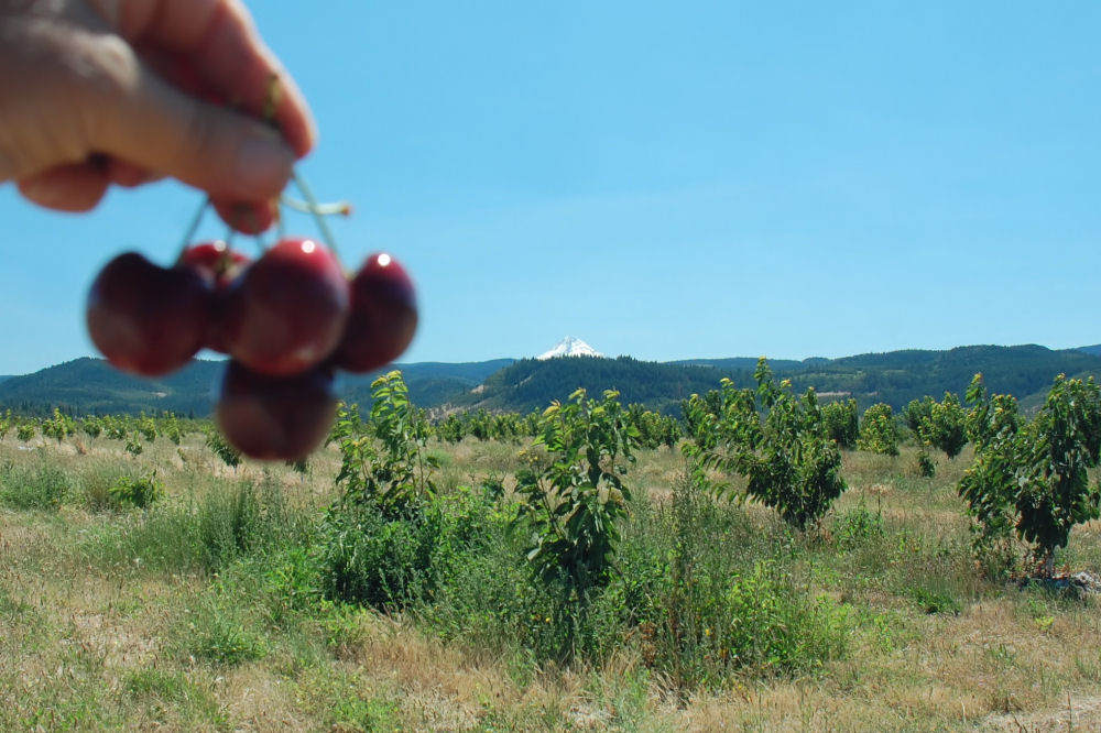 Cherry picking in Mosier, OR with Mt. Hood in the distance