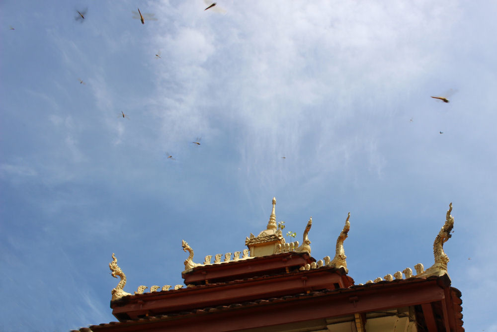 Dragonflies at the Pha That Luang Buddhist temple, Vientiane, Laos
