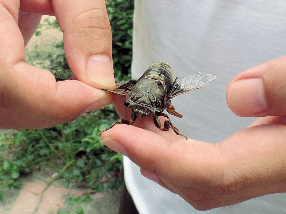 Cicada flies, abundant in China, are caught as food, using a long pole with a sticky end.
