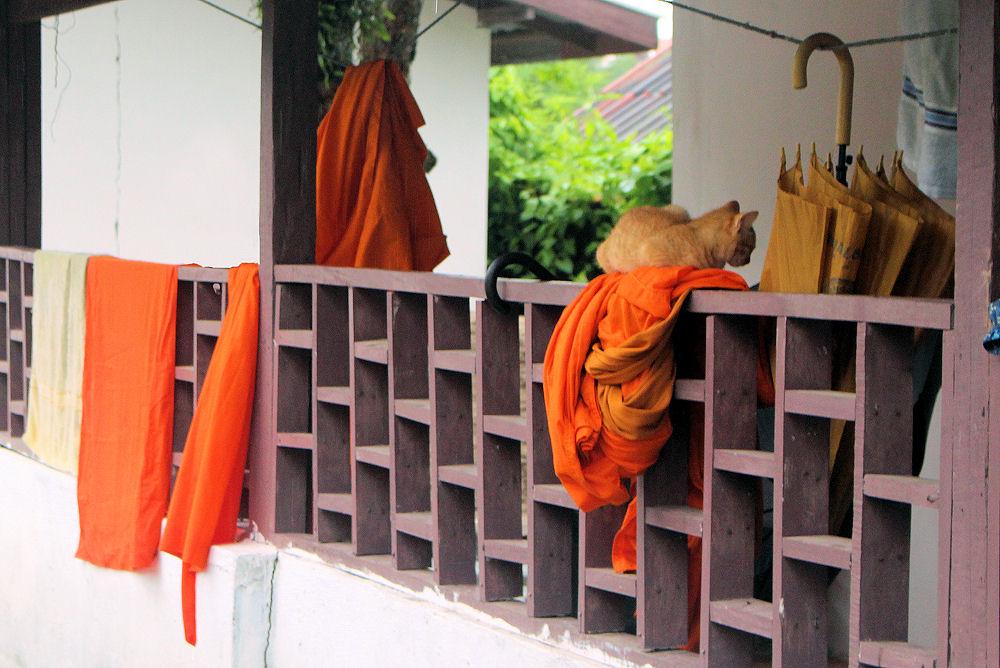 Monk's residence cat, Luang Prabang, Laos