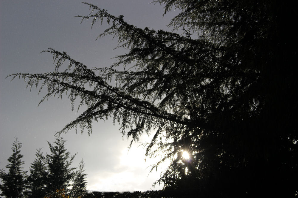 Deodar Cedar silhouette in this afternoon's sun shower