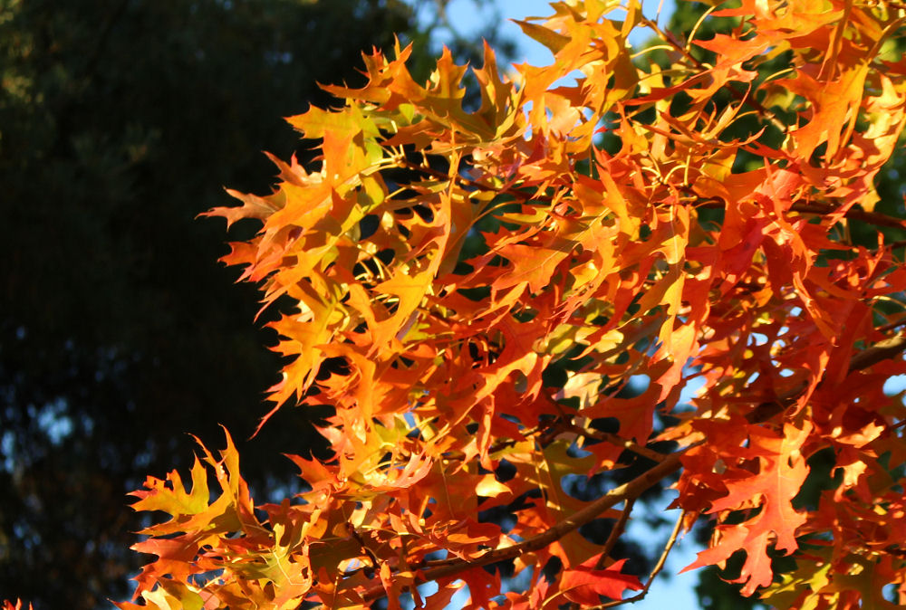 Scarlet Oak looking like flames of fire, Autumn in Hillsboro OR