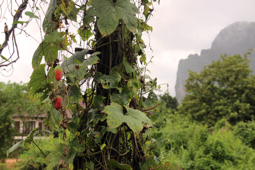 Vang Vieng fruit vine on small wooden bridge