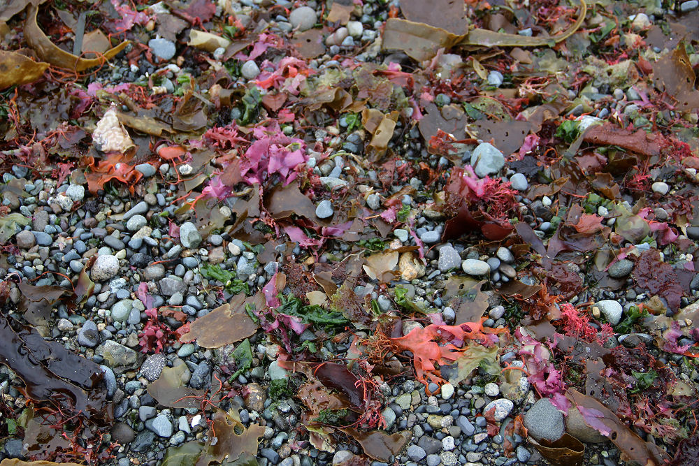 Textures and colorful seaweed treasures, Island View Beach, Vancouver Island, BC