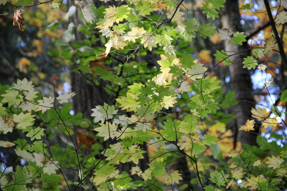 Box-elder leaves, Tualatin Hills Nature Park, Beaverton, OR