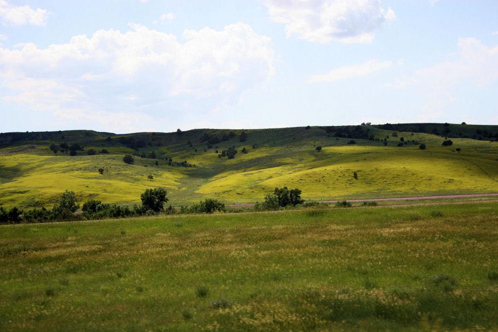 Canola fields, South Dakota