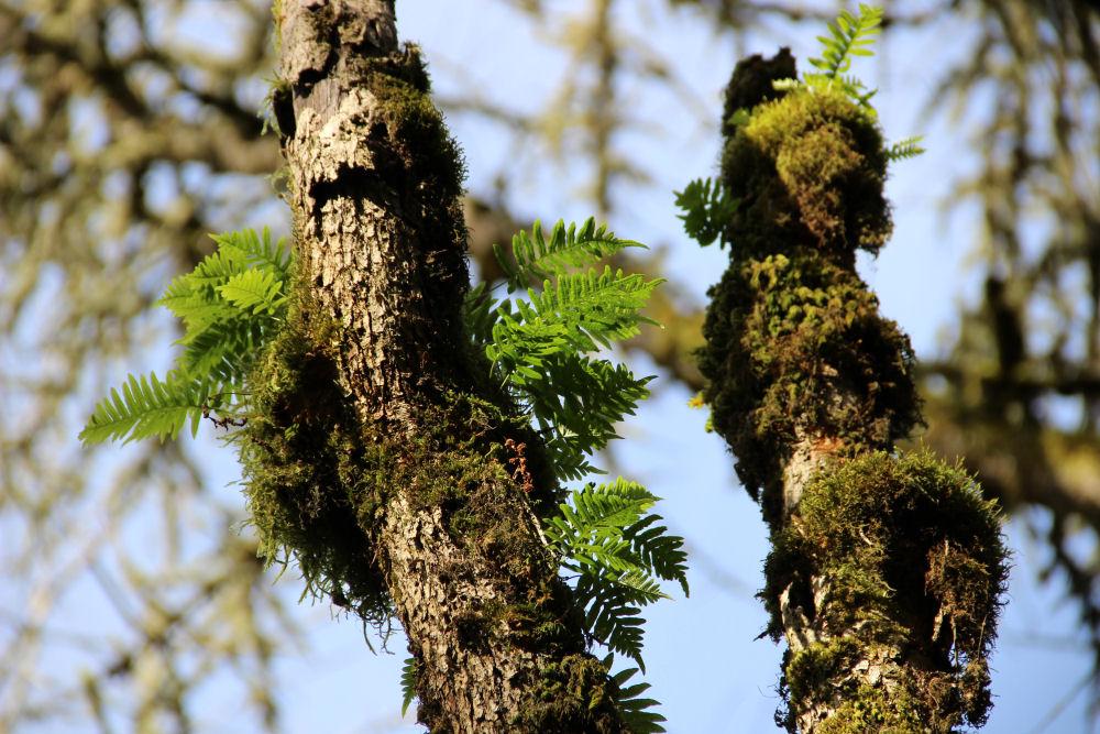 Moss and ferns, Tualatin Hills Nature Park, Beaverton, OR