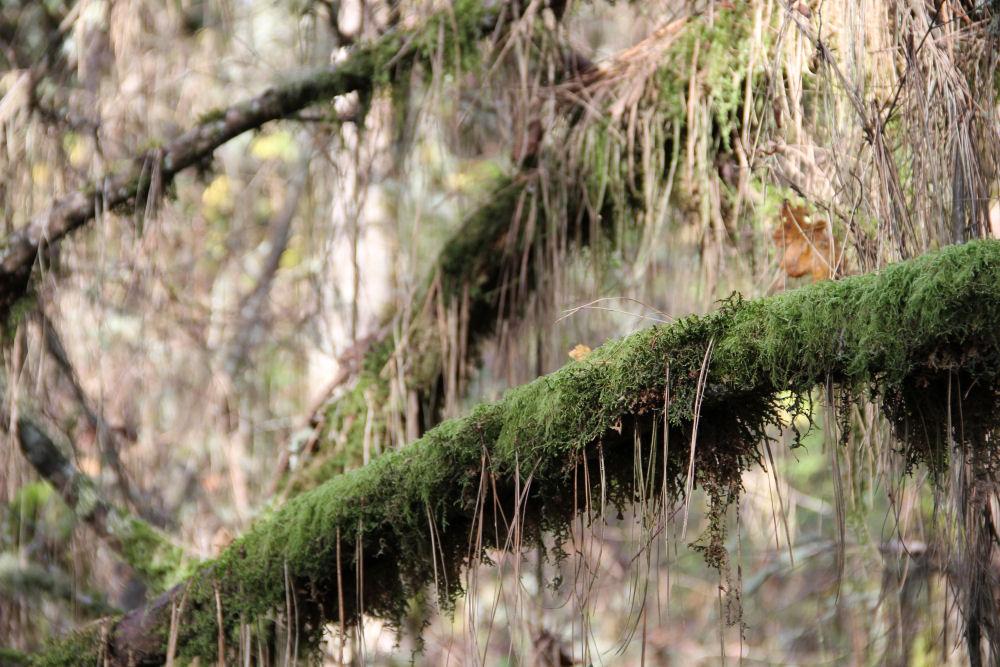 Pine needles, Tualatin Hills Nature Park, Beaverton, OR