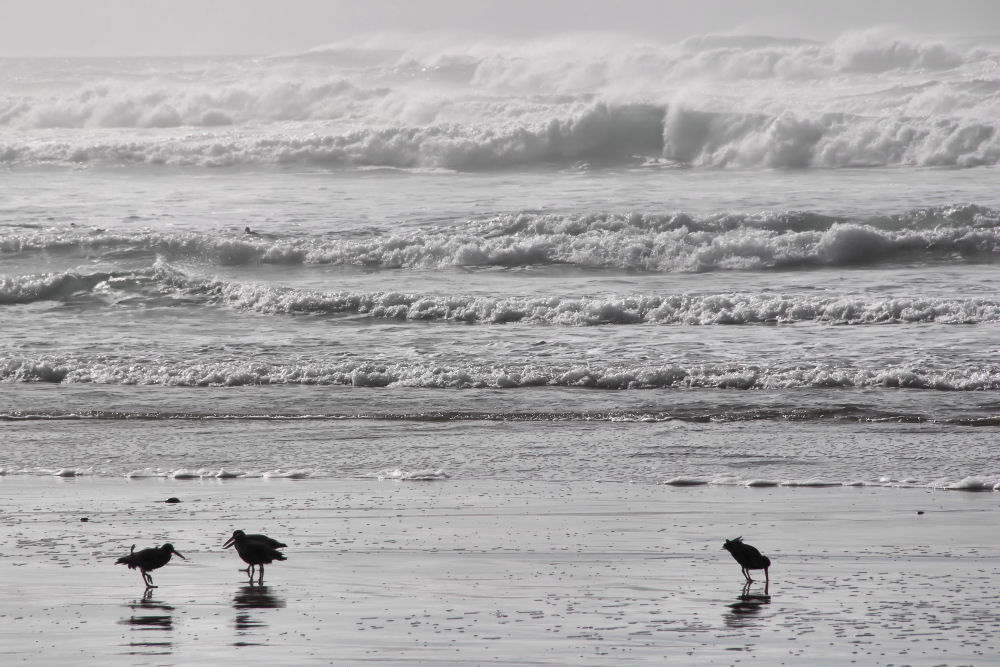 Black Oystercatchers, Oceanside beach, OR