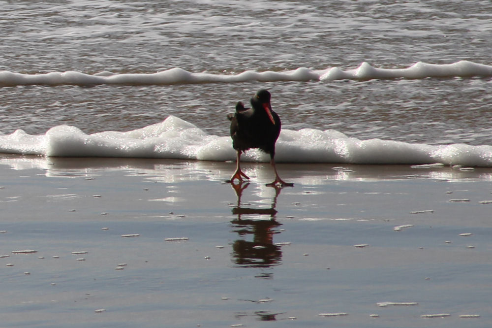 Black Oystercatcher, Oceanside beach, OR