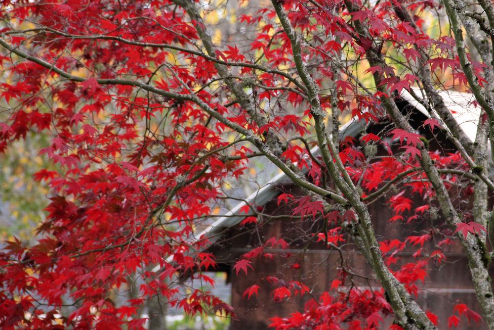 Japanese Maple, Hillsboro, OR
