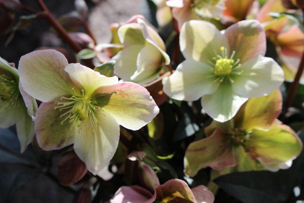 Hellebore,  winter-early spring flowering perennial
