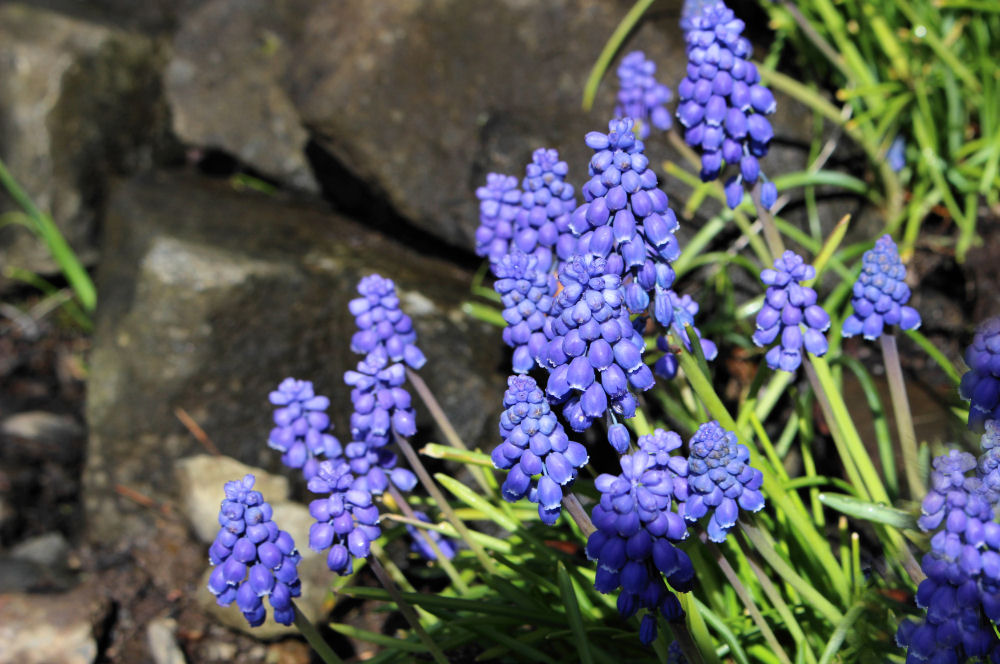 Grape Hyacinth, Hillsboro OR garden