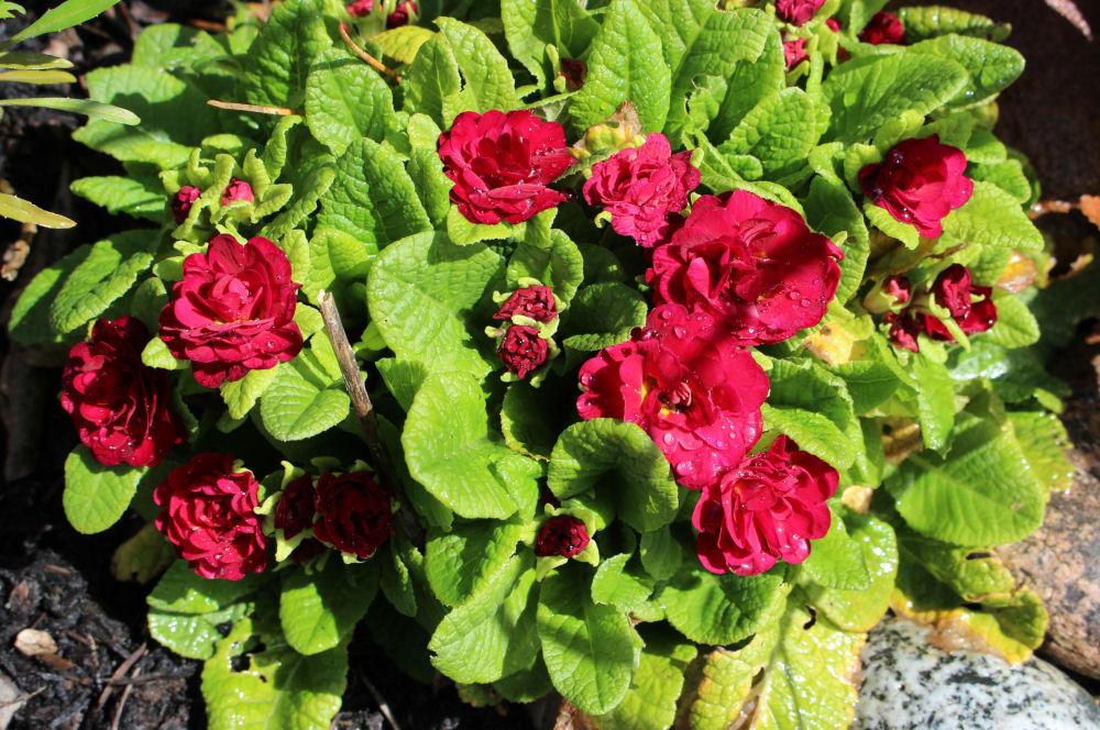Primula, Hillsboro OR garden