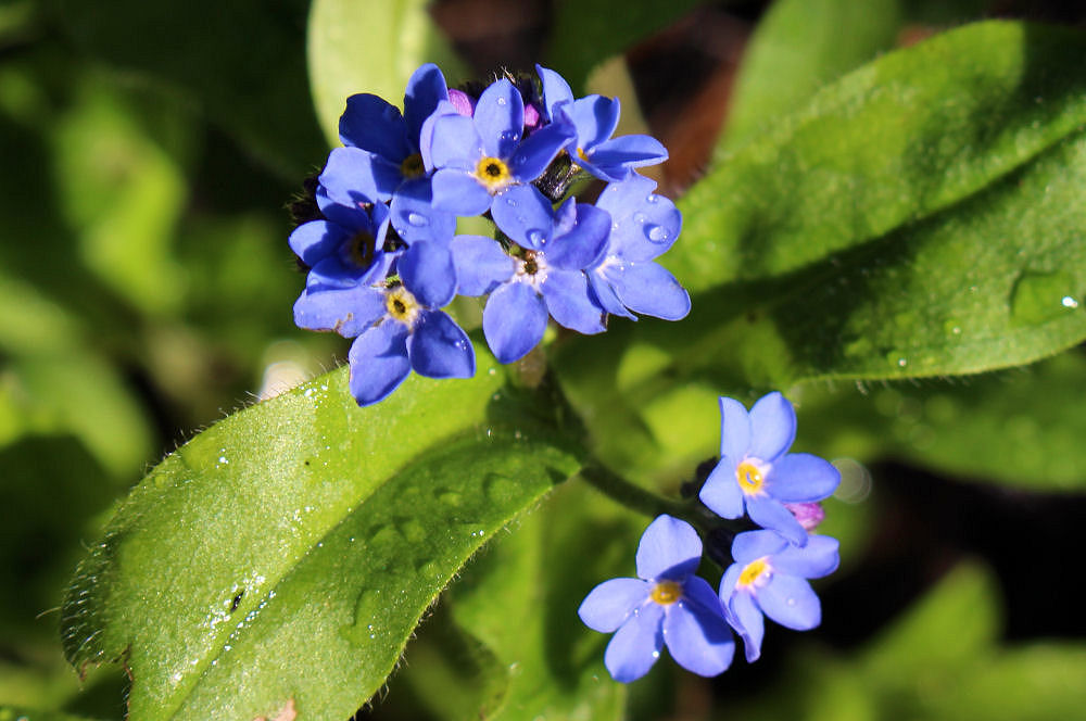 Forget-me-nots, planted in honor of my Grandma, my Mom and my Mother in law who all had Alzheimer's.