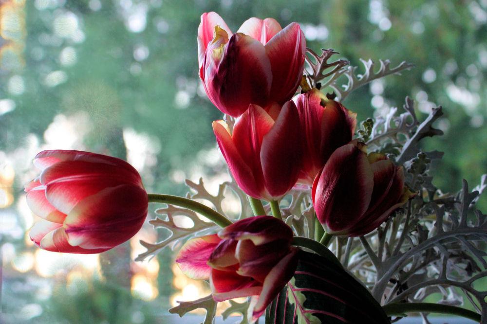 Tulips and Dusty Miller, Hillsboro OR garden