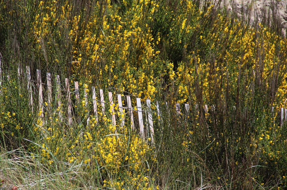 Scotch Broom, beautiful but invasive all along the west coast