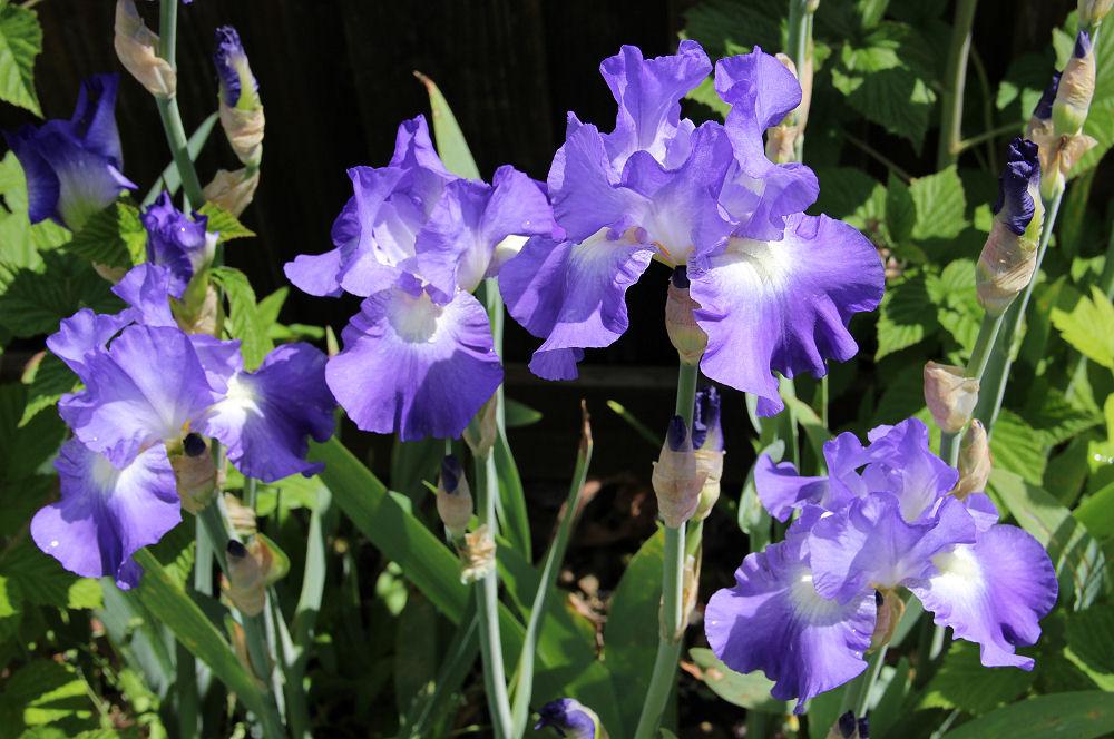 Iris season - Hillsboro OR garden