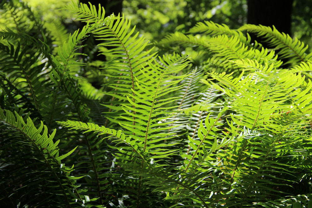 Fern clump, Wilson River Trail, Oregon