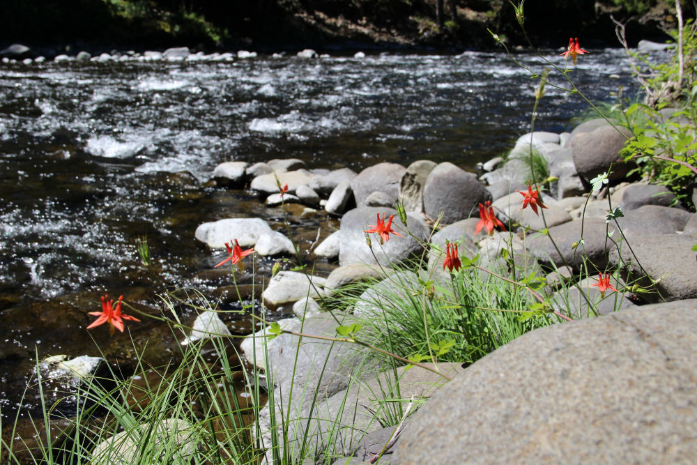 Wild Columbine, Wilson River, Oregon