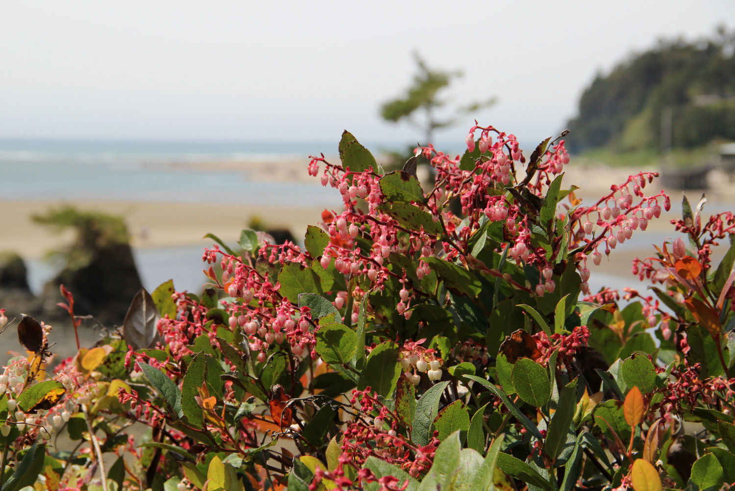 Salal bush, Siletz Bay Park, Lincoln City, Oregon