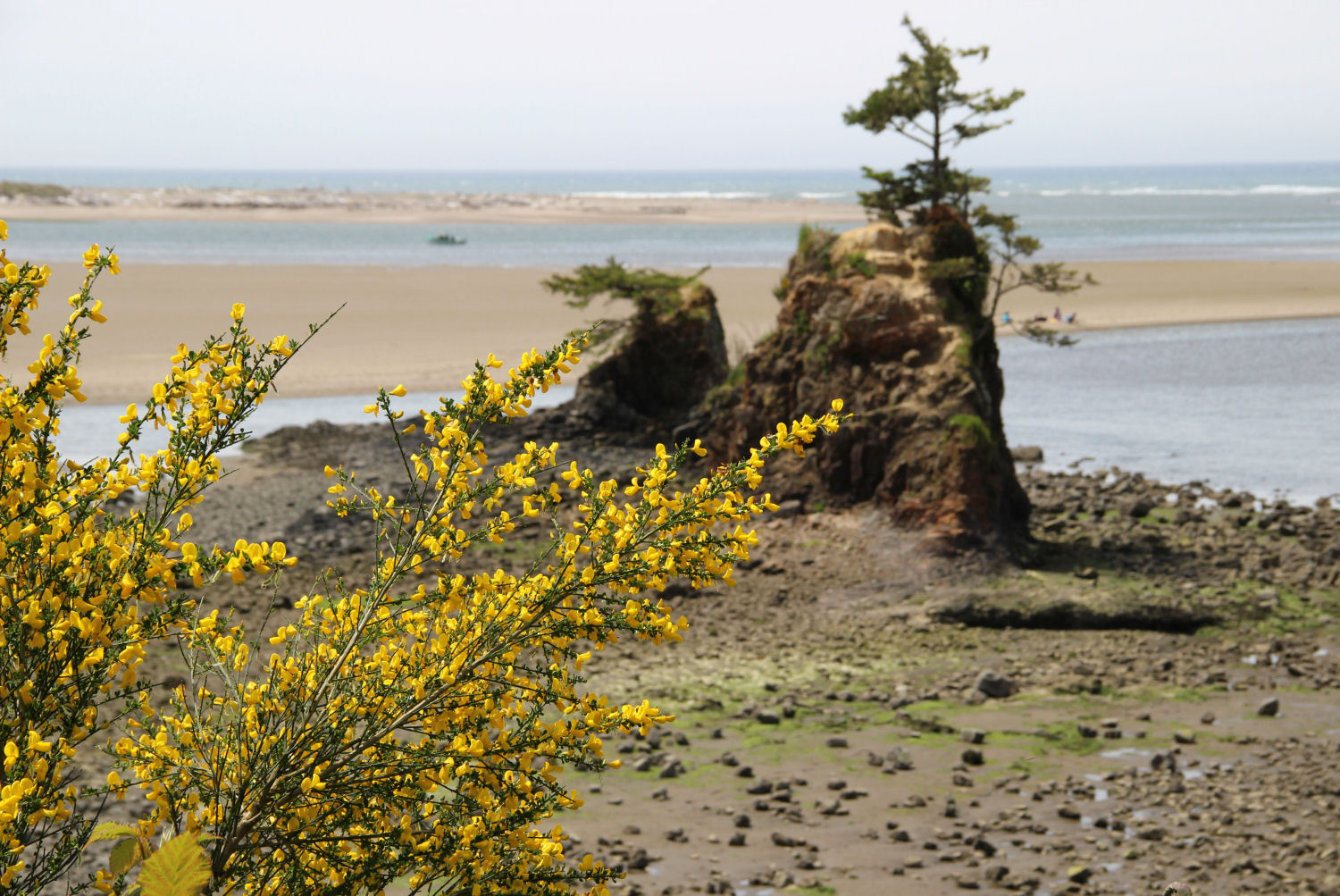 Scotch broom, Siletz Bay Park, Lincoln City, Oregon