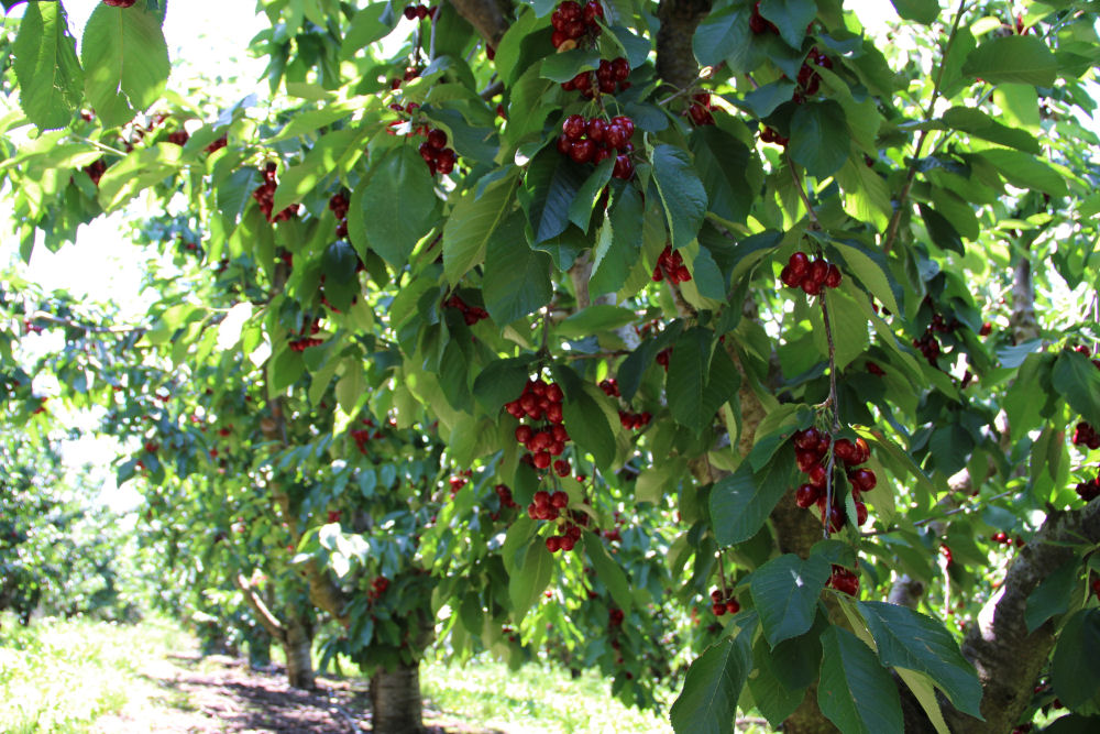 Cherry picking today - Hood River Fruit Loop, Mosier, OR