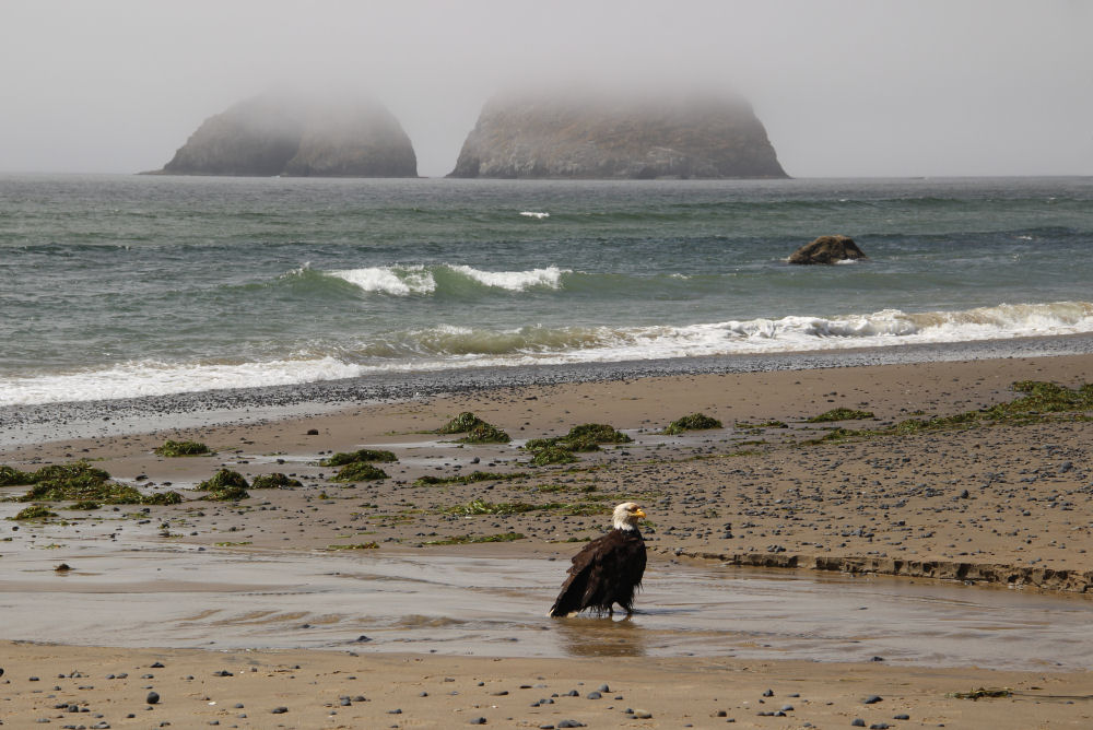 Bald Eagle, Oceanside OR
