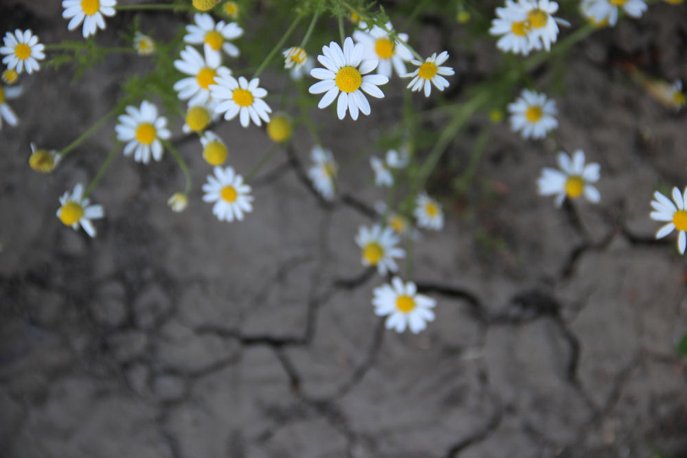 Camomile and parched earth, Rood Bridge Park, Hillsboro OR
