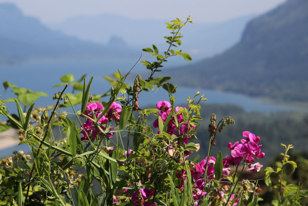 Wild Sweetpeas, Vista House, Columbia River Gorge, OR