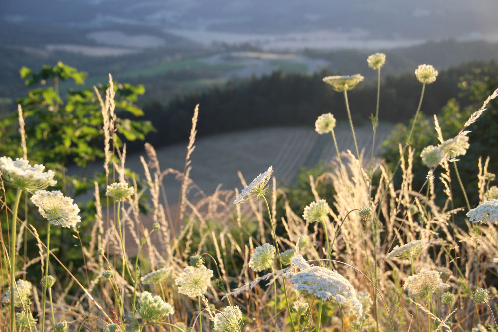 Wild Parsnip and view of the valley, Bald Peak, Oregon