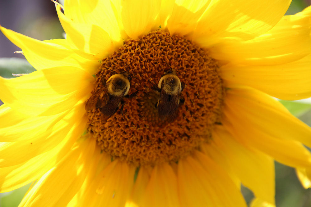 Sunflower happy-face, Hillsboro OR