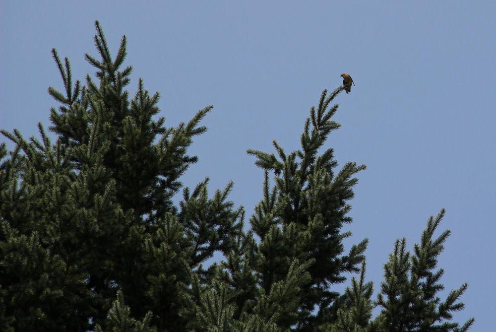 Cedar Waxwing, Hillsboro OR